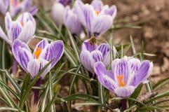 Abeja que vuela sobre las azafranes en la primavera en un prado Fotografía de archivo libre de regalías