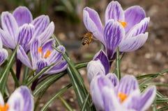 Abeja que vuela sobre las azafranes en la primavera en un prado Fotos de archivo libres de regalías