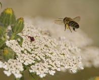 Abeja que vuela a una flor Imagen de archivo