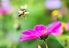 Abeja que vuela a una flor Fotos de archivo libres de regalías