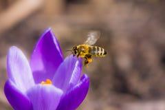 Abeja que vuela a una flor del azafrán Foto de archivo libre de regalías