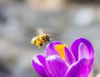 Abeja que vuela a una flor púrpura del azafrán Fotos de archivo libres de regalías