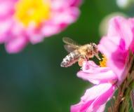 Abeja que vuela a una flor rosada de la anémona Imagenes de archivo