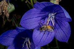 Abeja que vuela a usted de la flor Imagen de archivo