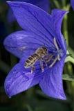 Abeja que vuela a usted de la flor Imagenes de archivo