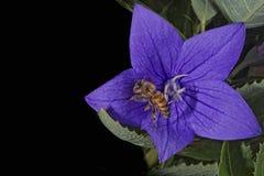 Abeja que vuela a usted de la flor Fotografía de archivo libre de regalías