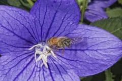 Abeja que vuela a usted de la flor Foto de archivo libre de regalías