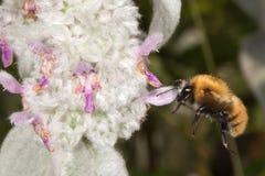 Abeja que vuela a usted de la flor Fotografía de archivo