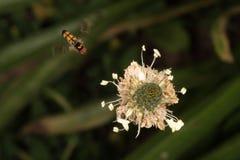 Abeja que vuela a usted de la flor Imágenes de archivo libres de regalías