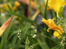 Abeja que zumba en las flores fotografía de archivo libre de regalías