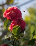 Abeja que zumba por una flor con un cielo azul borroso Imágenes de archivo libres de regalías