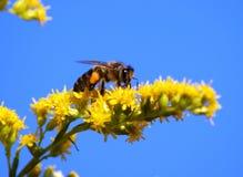 abeja, rayada, amarillo, flor Imagenes de archivo