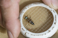 Abeja reina - apicultor que introduce una nueva abeja reina a la colmena Imagen de archivo