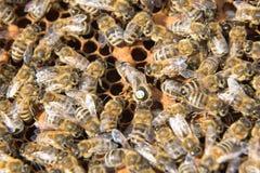 Abeja reina en la colmena de la abeja que pone los huevos Fotos de archivo libres de regalías