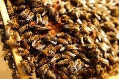 Abeja reina en una colmena que pone los huevos apoyados por las abejas de trabajador Apicultura Fotografía de archivo