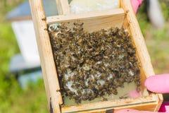 Abeja reina excelente tribal con la etiqueta en el núcleo detrás del vidrio Crianza de abejas reinas Beeholes con los panales Pre Foto de archivo