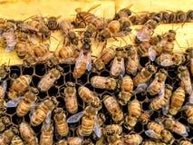 Abeja reina italiana en el centro de las abejas de trabajador que ponen los huevos en primer del marco de la colmena Imagen de archivo