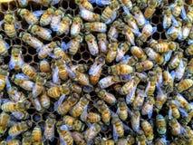 Abeja reina italiana en el centro de las abejas de trabajador que ponen los huevos en primer del marco de la colmena Imagen de archivo libre de regalías