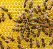 Abeja reina y abejas Imagen de archivo libre de regalías