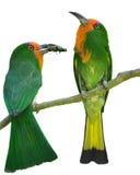 Abeja Rojo-barbuda Eate Imagen de archivo libre de regalías