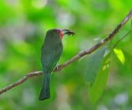 Abeja Rojo-barbuda Eate Fotos de archivo libres de regalías