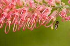 Abeja rosada de la flor y de la miel Imagen de archivo