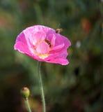 Abeja rosada de la flor y del vuelo Imagen de archivo libre de regalías