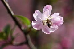 Abeja rosada de la gotita de la flor Foto de archivo libre de regalías