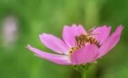Abeja rosada hermosa de la miel de la flor en la naturaleza del backgroud del verde de la miel del frunce de la flor Imágenes de archivo libres de regalías
