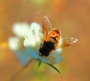 Abeja salvaje de la foto en una flor blanca Imagenes de archivo