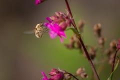 Abeja salvaje de la mosca de la belleza en la flor del clavel El insecto del comandante de Bombylius poliniza la flor Imagen de archivo