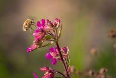 Abeja salvaje de la mosca de la belleza en la flor del clavel El insecto del comandante de Bombylius poliniza la flor Fotos de archivo libres de regalías