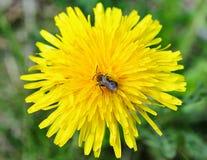 Abeja salvaje en la flor amarilla Fotografía de archivo