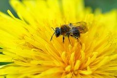 Abeja salvaje en la flor amarilla Imágenes de archivo libres de regalías