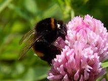 Abeja salvaje en las flores del prado Imagen de archivo libre de regalías
