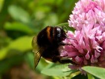 Abeja salvaje en las flores del prado Fotos de archivo libres de regalías
