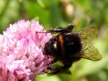 Abeja salvaje en las flores del prado Fotos de archivo