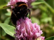 Abeja salvaje en las flores del prado Fotografía de archivo libre de regalías