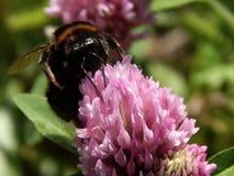 Abeja salvaje en las flores del prado Imagenes de archivo