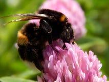 Abeja salvaje en las flores del prado Foto de archivo