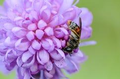 Abeja salvaje en los pétalos de la flor Foto de archivo libre de regalías