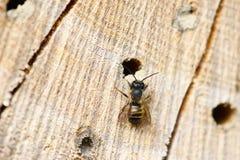 Abeja salvaje en refugio del insecto Foto de archivo
