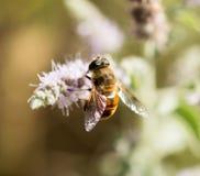 Abeja salvaje en una flor en naturaleza Fotos de archivo libres de regalías
