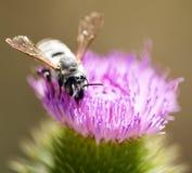 Abeja salvaje en una flor en naturaleza Fotografía de archivo
