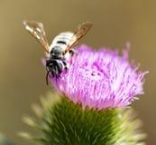Abeja salvaje en una flor en naturaleza Fotos de archivo