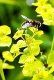 Abeja salvaje en una mañana fresca del verano de la flor amarilla después de una lluvia Fotografía de archivo libre de regalías