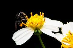Abeja salvaje que chupa el néctar en la flor Imágenes de archivo libres de regalías