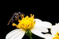 Abeja salvaje que chupa el néctar en la flor Foto de archivo