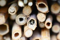 Abeja salvaje que mira fuera de un agujero en refugio del insecto Abeja solitaria Fotografía de archivo