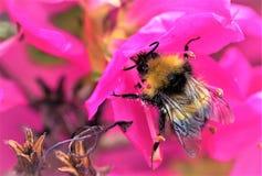 Abeja salvaje que recoge el polen de las flores de la azalea Fotos de archivo